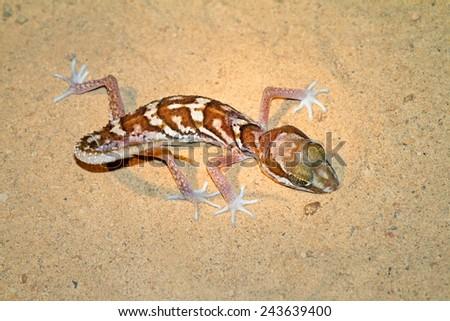 Mocquard's Madagascar Ground Gecko (Paroedura bastardi) in Kirindy Mitea National Park, Madagascar - stock photo
