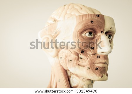 model of human anatomy with old style