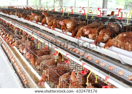 Modern Chicken Farm Production Of For Eggs