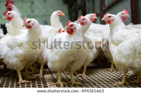 Modern chicken farm, production of white meat