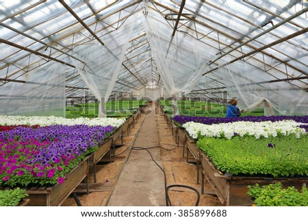 Modern greenhouse interior with numerous rows of the annual flower seedlings in plastic flowerpots - stock photo