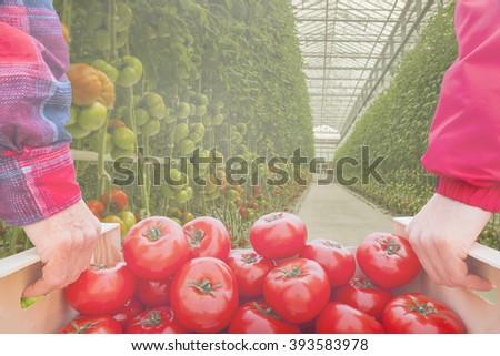 modern greenhouse tomatoes - stock photo