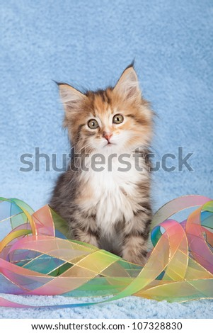 Moggie kitten sitting on blue faux fur background with tie dye pattern ribbon
