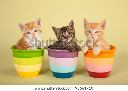Moggie kittens inside colorful striped pots on yellow green background
