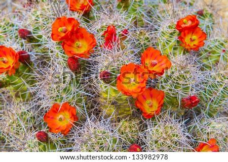 Mojave Mound Cactus - stock photo