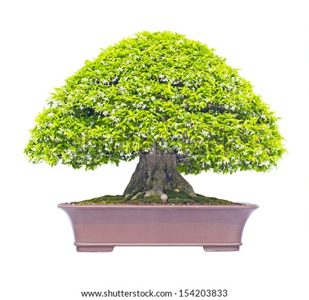 Mok Bonsai From Thailand, isolated on white background