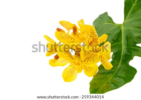 Mokkara yellow Orchid flower with green leaf isolated on white - stock photo