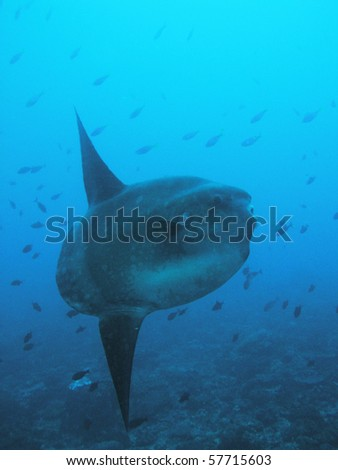 mola luna fish sunfish in real sea nature underwater - stock photo