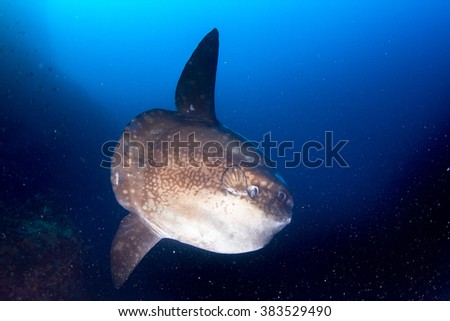 Mola mola, sunfish. Portrait of the fish at deep water of Nusa Penida. Magical fish. - stock photo