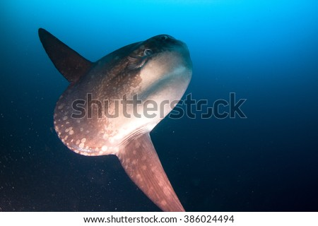 Mola mola, the mystic sun fish in deep water. Nusa Penida, Indonesia. - stock photo