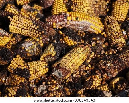 Moldy corn background, Aflatoxin - Aspergillus flavus and Aspergillus parasiticus - stock photo