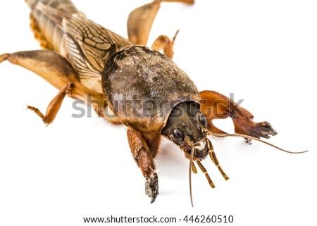 Mole cricket (Gryllotalpidae) isolated on white background - stock photo