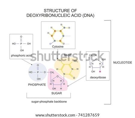 Molecular structure deoxyribonucleic acid dna showing stock molecular structure of deoxyribonucleic acid dna showing a base a phosphate and a ccuart Images