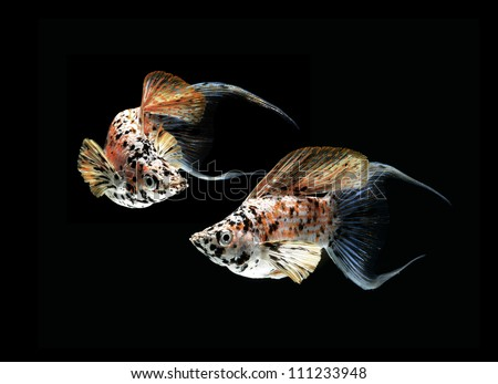 molly fish crescent tailed isolated on black background - stock photo
