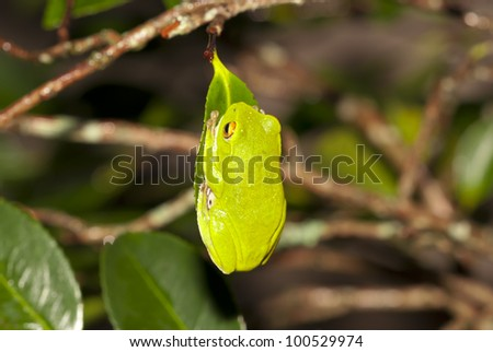 Moltrechtis Green Tree Frog - stock photo