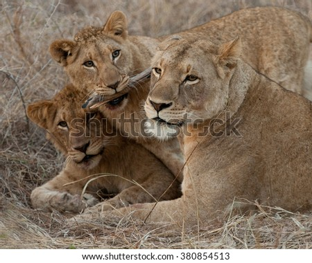 mom and cubs in Kenya