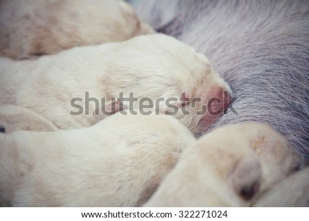 Mom and labrador puppies suckling  - stock photo