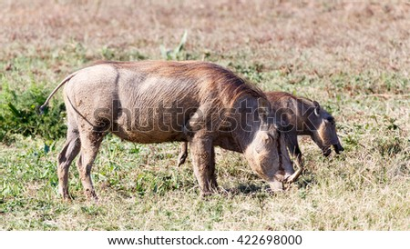 Mom and Me Again - Phacochoerus africanus - The common warthog is a wild member of the pig family found in grassland, savanna, and woodland in sub-Saharan Africa. - stock photo