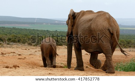 Mom and Me - The African bush elephant is the larger of the two species of African elephant. Both it and the African forest elephant have in the past been classified as a single species. - stock photo