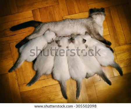 Mom cat feeding six little kittens on wooden floor