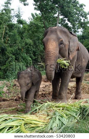 Mom  Elephant with baby son