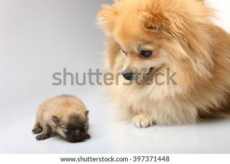 Mom spitz with puppies - stock photo