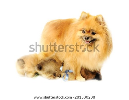 Mom spitz with puppies in the studio shooting  - stock photo