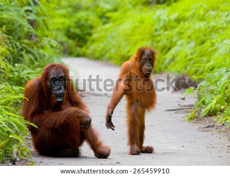 Mom with baby orangutan. Funny frame. Borneo. Indonesia. - stock photo