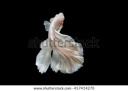 Moment of betta fish, siamese fighting fish isolated on black background