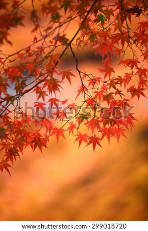 Momiji, Japanese maple in autumn season - stock photo