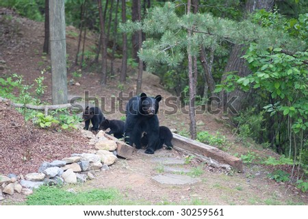 momma bear with three cubs on a path in the woods