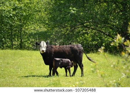 Momma Cow and Her Calf Nursing - stock photo