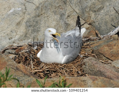 Momma seagull sitting in a nest on Thacher's Island - stock photo