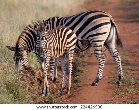 Mommy and Baby Zebra in Kruger National Park