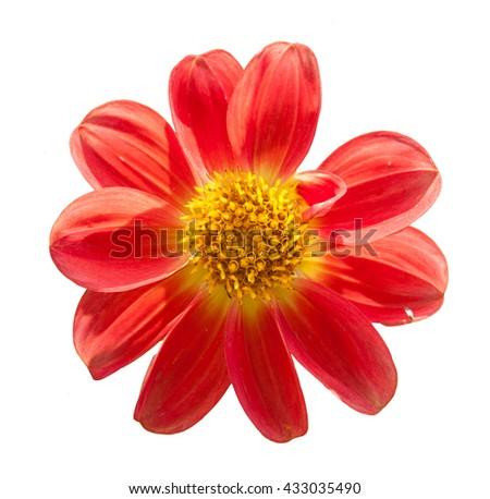 mona lisa flower red flower spring flower isolated on white background - stock photo