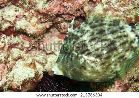 Monacanthus chinensis, the Fan-bellied Leatherjacket - stock photo