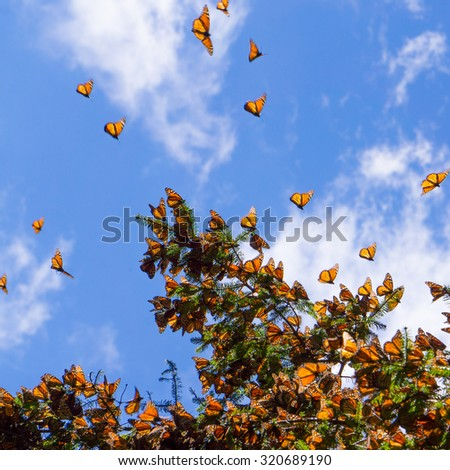Monarch Butterflies on tree branch in blue sky background in Michoacan, Mexico  - stock photo