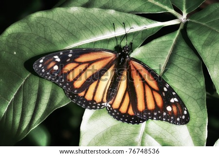 Monarch Butterfly - stock photo
