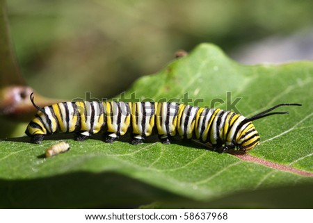 Monarch Butterfly Caterpillar - stock photo