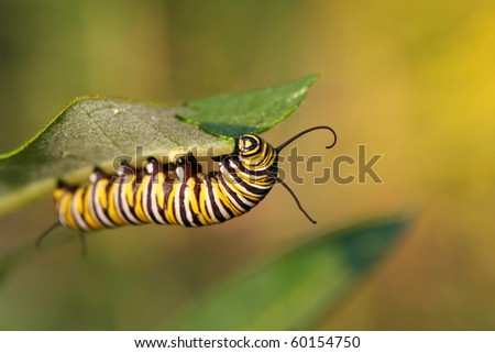 Monarch Butterfly Caterpillar On Milkweed - stock photo