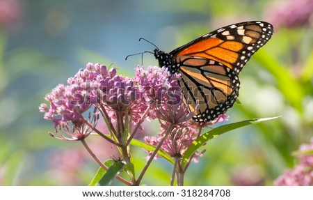 Monarch butterfly (danaus plexippus), backlit by the morning sun, perched on pink swamp milkweed flowers (asclepias incarnata) - stock photo
