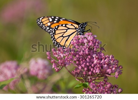 Monarch butterfly (danaus plexippus) clinging to pink flowers of swamp milkweed (asclepias incarnata) - stock photo