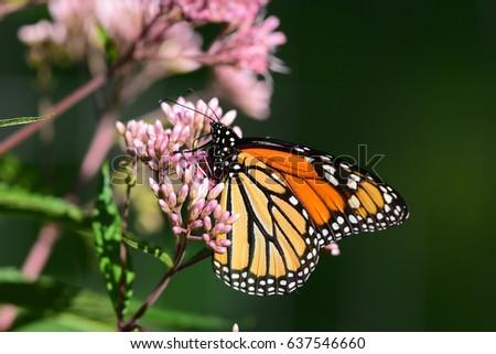Monarch butterfly (Danaus plexippus) feeding on Joe-Pye weed (Eutrochium) in the garden with a green background..