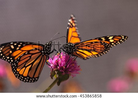Monarch butterfly, Danaus plexippus, on a bush in spring in Laguna Beach, Southern California