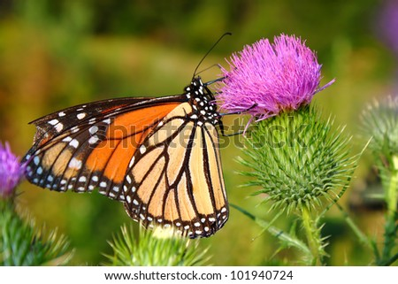 Monarch Butterfly (Danaus plexippus) on a flower at Castle Rock State Park of Illinois - stock photo