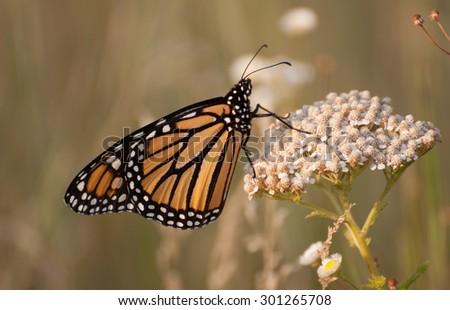 Monarch butterfly (danaus plexippus) on white yarrow (achillea millefoliium) wild flower in the prairie - stock photo