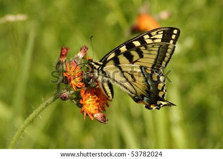 Monarch butterfly feeding from an orange wildflower in field. - stock photo
