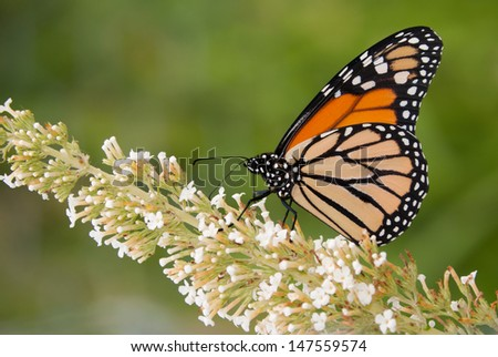Monarch butterfly feeding on a white cluster of flowers - stock photo