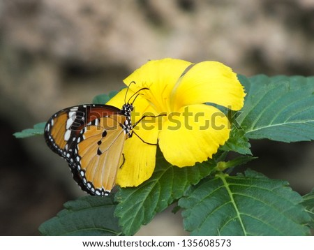 Monarch butterfly feeding on Bright yellow tropical  hibiscus flower with green leaves