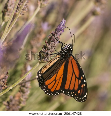Monarch butterfly feeding on lavender nectar - stock photo